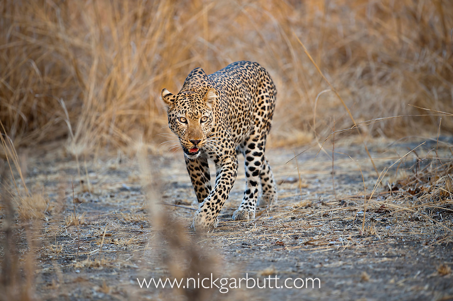 Adult female Leopard (Panthera pardus) active at dusk along the banks of the Luangwa River. South Luangwa National Park, Zambia.