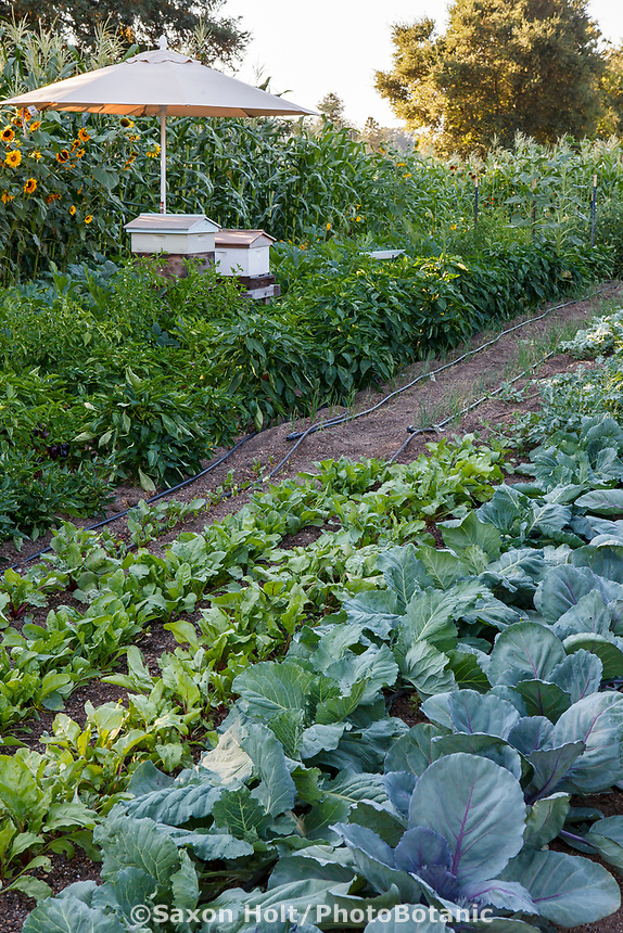 Vegetable garden with cabbage, beets, peppers, onions, and corn in Community Garden of Healdsburg Senior Living Center, California
