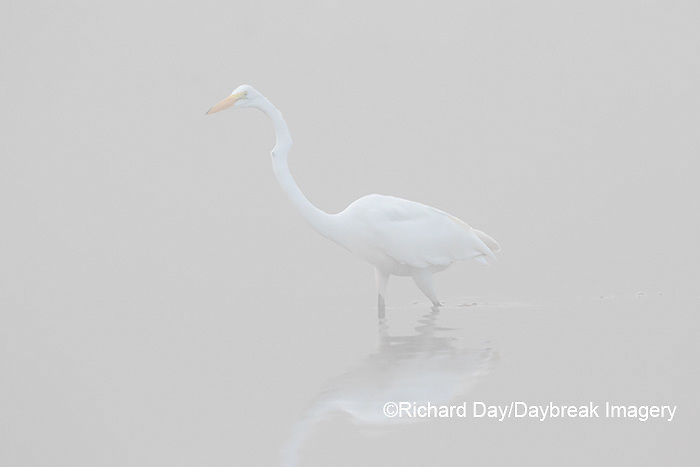 00688-02209 Great Egret (Ardea alba) in wetland in fog, Marion Co., IL