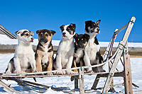 Eight week old Iditarod husky pups sit in an antique wooden sled in Nome during the 2010 Iditarod