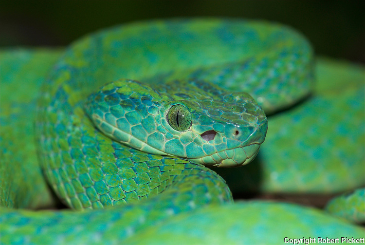 Honduran Palm Pit Viper Snake, Bothriechis marchi, Green and relatively slender with a prehensile tail, Honduras and eastern Guatemala, venemous, portrait