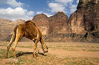 Camel grazing in a desert landscape, Wadi Rum, Jordan
