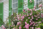 An antique home with roses in Damariscotta, Maine, USA