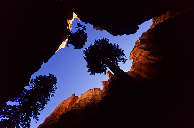 A virtical look at Trees in a narrow canyon in Bryce Canyon National Park, Utah, USA
