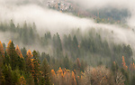 Idaho, Bonners Ferry Fog along the mountains with the golden Tamarack trees in the fall