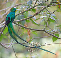 Considered one of the world's most beautiful birds, the adult male quetzal sports a tail that's nearly a meter long.