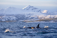 Killer whale, Orcinus orca, female, mother, surfacing with newborn calf at side , Tysfjord, Arctic Norway, North Atlantic
