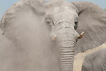 Matriarch female African elephant with dust swirling around her after defiantly shaking her head in a threat display, Etosha National Park, Namibia. (This species is found in many African countries including South Africa, Botswana, Zambia, Zimbabwe, Namibia, Tanzania, Kenya, Rwanda, Uganda, Angola, Democratic Republic of Congo)