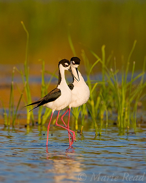 Black-necked Stilts (Himantopus mexicanus), pair walking close together during post-copulatory behavior, Orange County, California, USA Vertical crop.