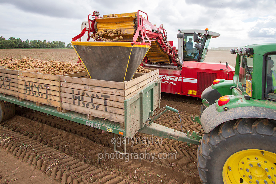 Harvesting potatoes  into boxes using a fall breaker and Grimme Varitron 220 - Augsut, Lincolnshire