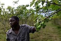 MOZAMBIQUE, Gondolo, BAGC Beira agricultural growth corridor, failed and abandoned 40 hectare Jatropha farm of Agro Pecuria de Manica LDA which was planted as biofuel project in 2010 at old portuguese cotton farm  / MOSAMBIK, Gondolo, BAGC Beira agricultural growth corridor, gescheiterte und aufgegebene 40 Hektar Jatropha Farm Agro Pecuria de Manica LDA, die 2010 als Biosprit Projekt auf einer alten Baumwollplantage gepflanzt wurde, das Oel der Jatropha Nuesse wurde über die finnische Firma Neste Oil fuer ein Lufthansa Biosprit Versuchsprojekt verwendet, Wachmann ALBERTO RICARDO