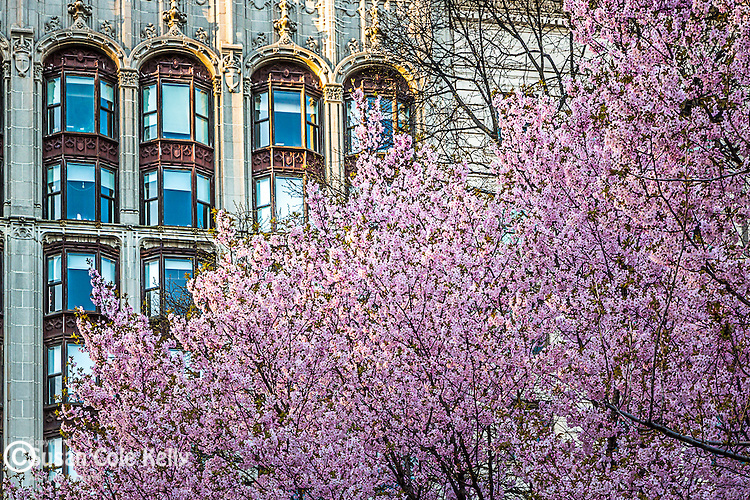 Cherry blossoms blooming on Boylston Street in Boston's Back Bay neighborhood, Boston, Massachusetts, USA