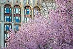Cherry blossoms blooming on Boylston Street in Boston's Back Bay neighborhood, Boston, Massachusetts, USA