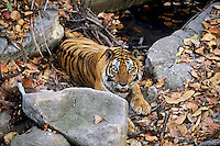 Bengal Tiger (Panthera tigris tigris) resting/trying to stay cool along edge of small pond, Bandhavgarh National Park, India.