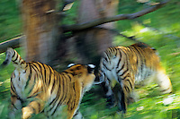 Siberian Tigers chasing each other through forest.