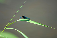 Deutschland, Bayern, Mittelfranken, Naturpark Altmuehltal, bei Solnhofen: Gebaenderte Prachtlibelle (Calopteryx splendens) am Ufer der Altmuehl | Germany, Bavaria, Middle Franconia, Nature Park Altmuehl Valley, near Solnhofen: Banded Demoiselle (Calopteryx splendens) at banks of river Altmuehl