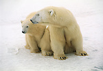 A mother polar bear  and cub sit together on a snow field in Canada.