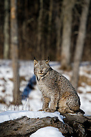 Canada lynx (Lynx canadensis) sitting on a snow-covered log