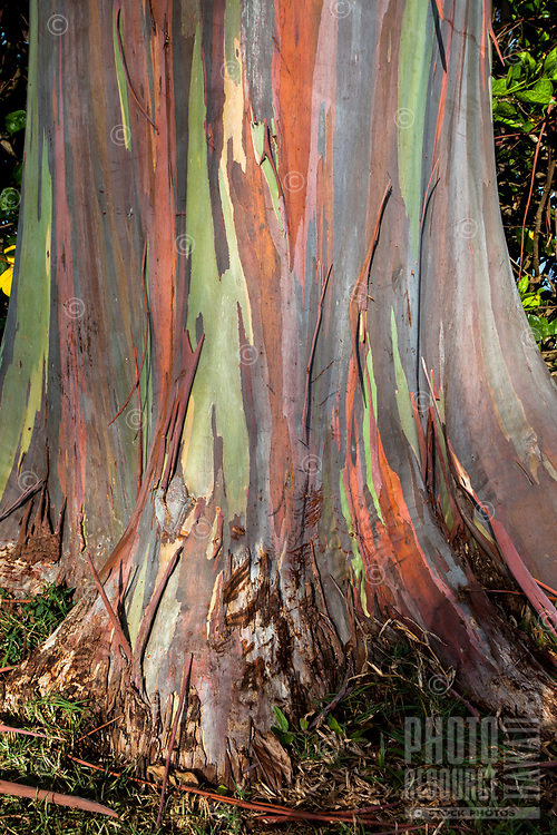 A close-up of a colorful rainbow eucalyptus tree trunk, Dole Plantation Center, Wahiawa, O'ahu.