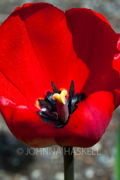 Red Dynasty tulipg with stamen are a late spring bloomer.