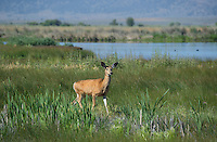 625250019 a wild mule deer odocoileus hemionus in a grassy field in modoc national wildlife refuge california