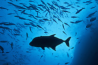 RM0984-D. Black Jack (Caranx lugubris), 2 foot long predator of the reef, swims amongst smaller fish. Baja, Mexico, Pacific Ocean.<br /> Photo Copyright &copy; Brandon Cole. All rights reserved worldwide.  www.brandoncole.com