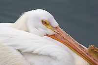 American White Pelican or Rough-billed Pelican (Pelecanus erythrorhynchos)