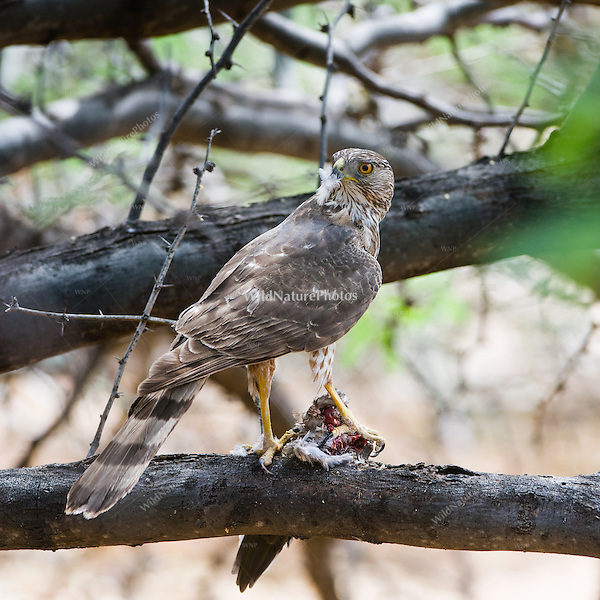 An immature male Cooper's Hawk (Accipiter cooperii) feeds on his prey, a Mourning Dove (Zenaida macroura), in a mesquite tree in the Sonoran Desert (Arizona)