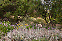 Meadow garden with Lamb's Ear (Stachys byzantina) and Chaste trees, Vitex agnus-castus