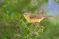 592210040 a wild orange-crowned warbler vermivora celata flies from a tree branch on santa clara ranch starr county texas united states