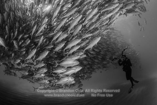 TW1003-Dbw. Scuba diver (model released) photographs a huge spawning aggregation of Bigeye Jacks (Caranx sexfasciatus) comprised of many thousands of fish. Fish stocks have rebounded significantly with strict protection. Cabo Pulmo National Park. Baja, Mexico, Sea of Cortez, Pacific Ocean. Color photo converted to black and white.<br /> Photo Copyright &copy; Brandon Cole. All rights reserved worldwide.  www.brandoncole.com