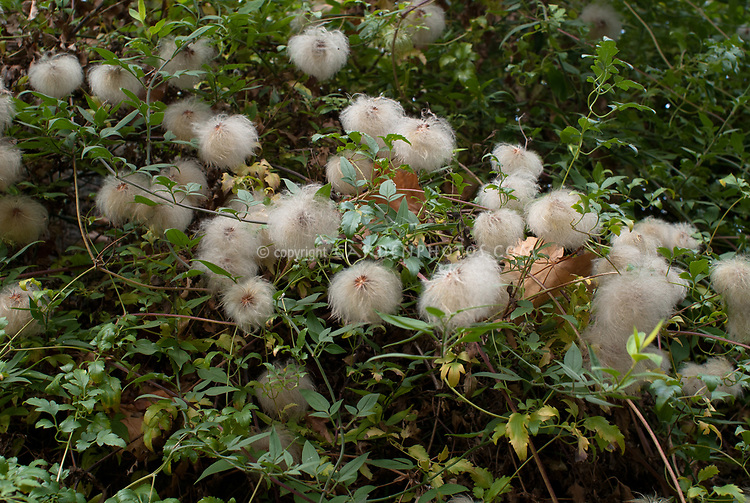Clematis triloba (thunbergii) seedheads in autumn fall