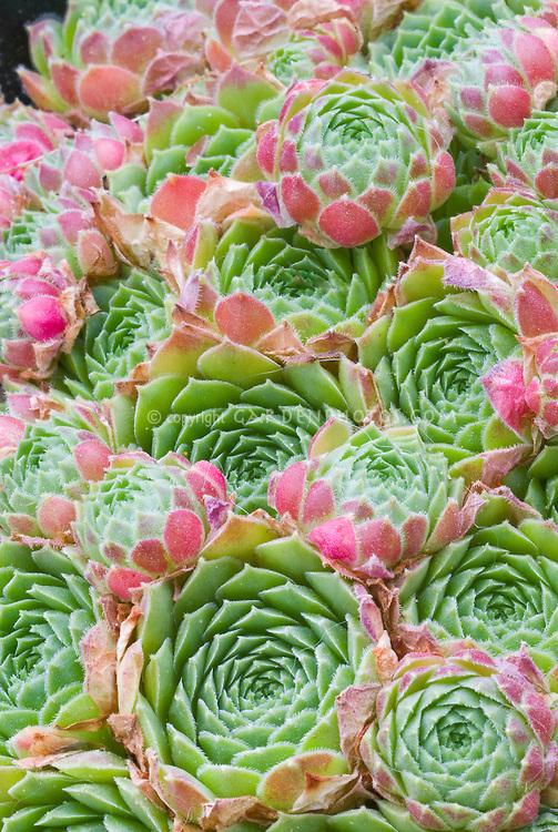 Sempervivum atlanticum, fleshy succulent foliage plant rosettes, green whirls with pink edges tips