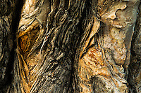 Eucalyptus Bark Detail, California