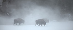 Yellowstone National Park, WY <br /> Three American Bison (Bison bison), or American Buffalo in a wingter morning fog, in the upper geyser basin