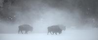 Yellowstone National Park, WY <br /> Three American Bison (Bison bison), or American Buffalo in a wingter morning fog, in the upper geyser basin