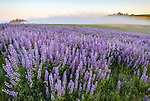 Redwood National Park, CA: Sunrise illuminates ground fog and a field of bigleaf lupine (Lupinus polyphyllus) in the Bald Hills