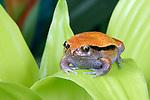 Tomato Frog, Dyscophus guineti, Madagascar