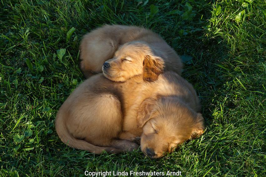 Golden retriever puppy sleeping