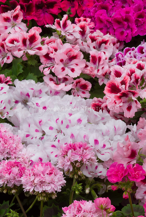 Pelargonium 'Suffolk Coral' (regal) + 'Granddad Mac' (Dwarf/Stellar), mixture of annual geraniums flowering in pink and red tones