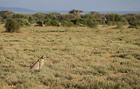 As expected, we had a lot of cheetah sightings on this trip in the Serengeti and Ndutu.