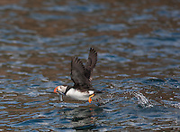 Atlantic Puffin; Fratercula arctica; Canada, Nova Scotia, Bird Islands
