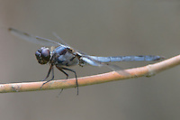 389100007 a wild male bar-winged skimmer libellula axelina a rare texas dragonfly or odonate perches on a limb in the angelina national forest in jasper county texas