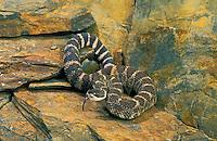 Northern Pacific Rattlesnake..British Columbia to California..Crotalus viridis oreganus.