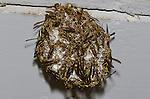 Paper Wasp nest (Polistes exclamans), Lake Texoma, Marshall County, Oklahoma, USA