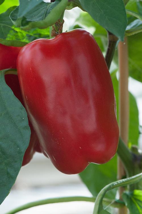 Red Sweet Pepper 'Calisto', glasshouse, late September.