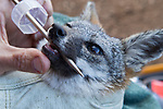 Santa Catalina Island Fox (Urocyon littoralis catalinae) biologist, Julie King, examining teeth of fox during vaccination and health check up, Santa Catalina Island, Channel Islands, California