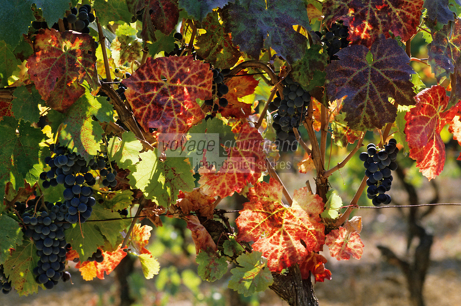 Europe/France/Aquitaine/24/Dordogne/Vallée de la Dordogne/Route des Vins de Bergerac/Vignoble de Bergerac: Grappes raisin de Pécharmant
