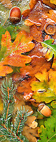 Fall colored Oregon White Oak leaves anf fir tree branches in frozen pond near Alpine, Oregon