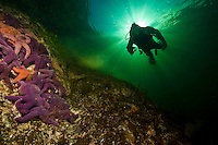 Diver floating above Ochre Sea Star (Pisater ochreceus) underwater in Agamemnon Channel on British Columbia's  Sunshine Coast. Canada